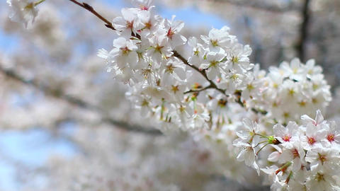 Sakura Cherry Blossoms Footage