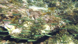 A group of small fishes circle around Footage