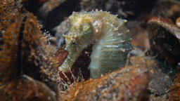Short-snouted seahorse (Hippocampus hippocampus). Black Sea Footage