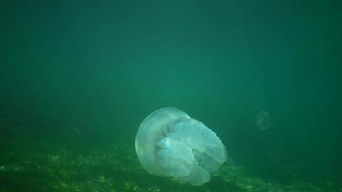 Barrel Jellyfish (Rhizostoma pulmo) Live Action