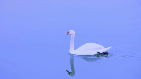 Swan swimming on the blue river Danube Footage