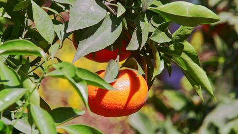 Closeup Mandarin with Sun Brightness on Side in Tree Leaves Footage