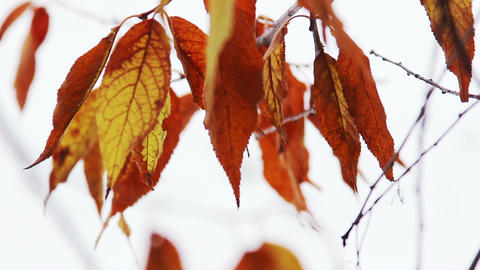 Autumn Leaves Swaying In The Wind Footage
