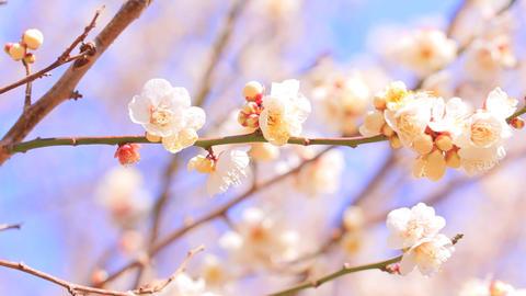 Plum/Ume blossom Footage