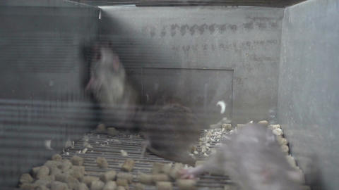 Three Gray Rats Fighting Live Action