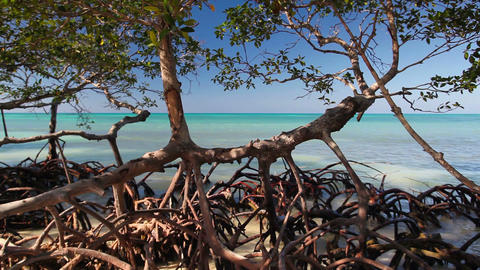 Mangroves at caribbean seashore Footage