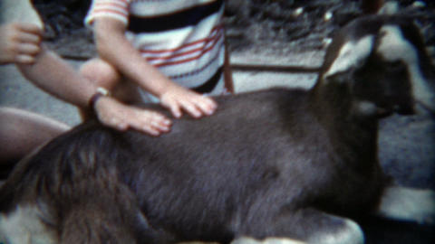1955: Adorable kids petting a live goat at the children's city zoo Footage