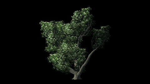 Sogar Maple Tree On black Background Animation