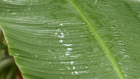 Wet banana leaf after the rain Footage