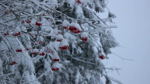 Snowy red ashberry Footage