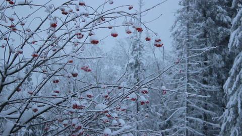 Snowy red berries Footage