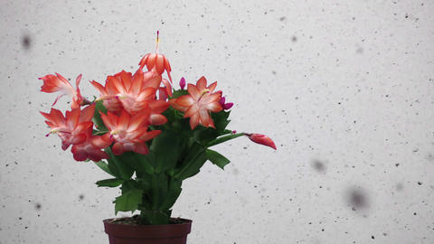 Time-lapse of growing and blooming pink Christmas cactus with snowing Footage