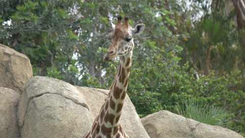 Giraffe in the zoo Footage