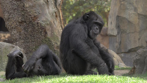 Two chimps in the zoo Footage