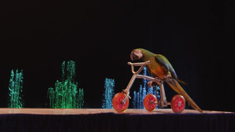 Macaw riding tricycle in the circus Footage