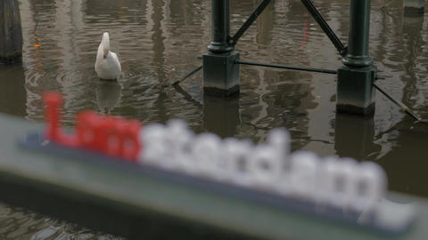 White swan in water and I amsterdam slogan Filmmaterial