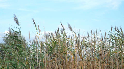 Reeds swaying in the wind Footage
