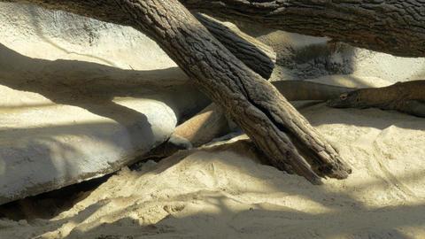 Komodo dragon in the zoo Footage