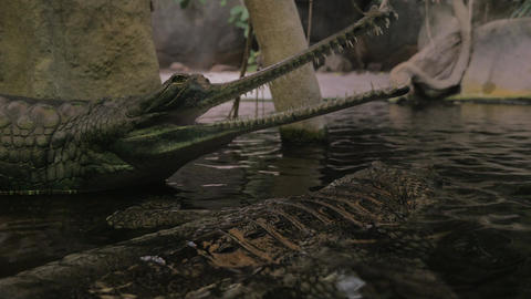 False gharial with open jaws Live Action