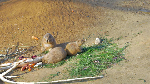 Three black-tailed prairie dogs eating Footage