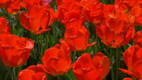 Field of red tulips Footage
