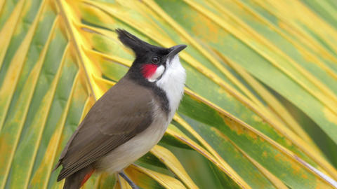 Red-whiskered bulbul eating bread Footage