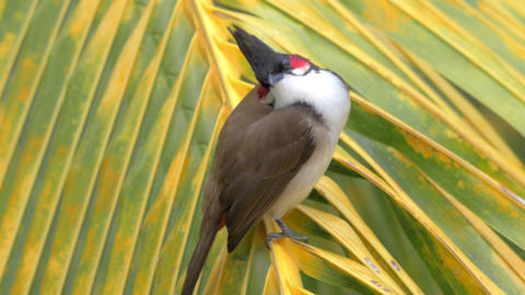 Red-whiskered bulbul on palm leaf Footage