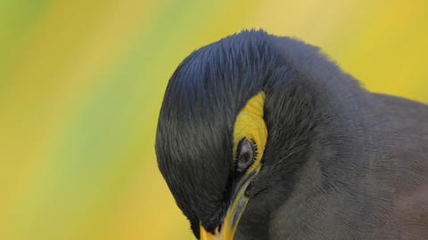 Black and yellow mynah bird Footage