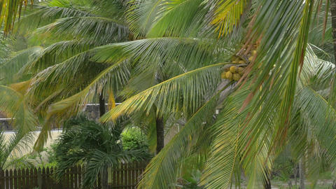 Garden with coconut palms Footage
