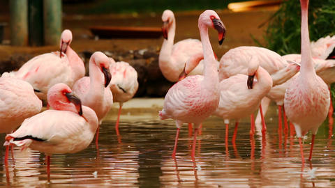 Group of flamingos standing in water basin preening themselfs Footage