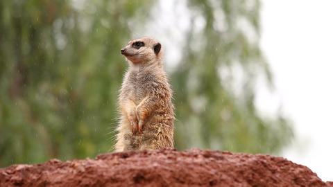 Sweet suricate standing in the rain watching out from a rock observing the envir Footage