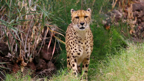 Beautiful cheetah creeps through undergrowth hunting for food Footage