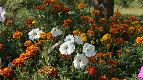 Petunia flowers and marigold in a flowerbed Footage