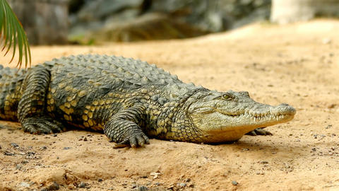 Crocodile lying on the ground in focus while a second crocodile sneaks in the ba Footage
