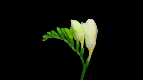 Time-lapse opening white freesia flower buds in RGB + ALPHA matte format Live Action