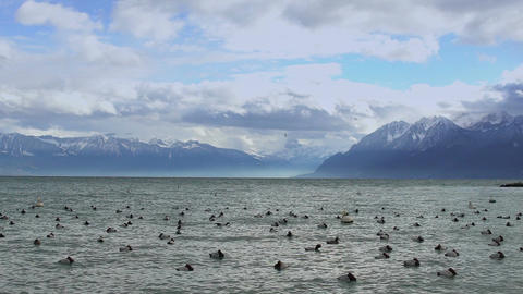 Flock of ducks floating on stormy lake water in Alps, beautiful wild nature Footage