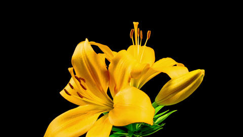 Time Lapse - Two Yellow Lily Flower Blooming Footage