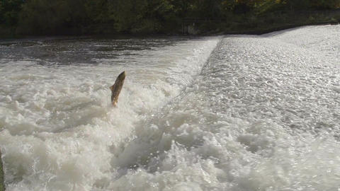 Salmon Jumping Out Of River severn Near shrewsbury Footage