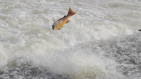 Healthy Pink Atlantic Salmon Jumping Out Of River Footage