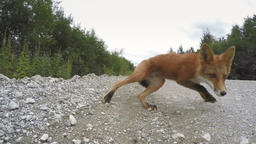 Beautiful wild red fox biting camera on road Footage