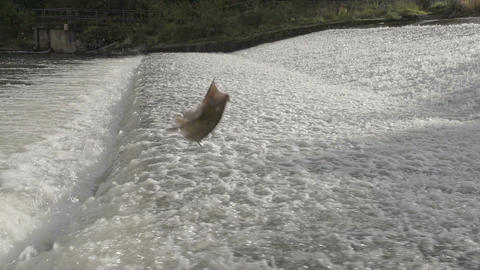 Salmon jumping river rapids Footage