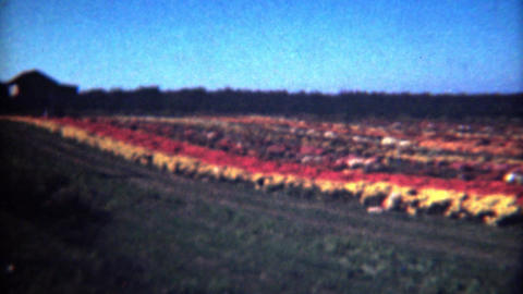 1949: Mums agriculture flower growing farm colorful by Paschle company Footage
