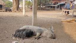 Pigs with sows in a village near Tad Lo,Tad Lo,Laos Footage