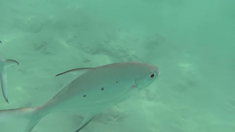 Tropical silvery fishes Footage