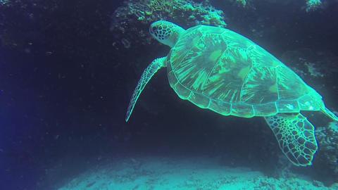 Sea turtle in Philippine Sea Live Action