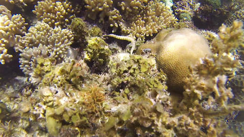 Messmate pipefish swims among corals Footage