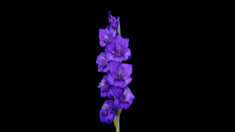 Time-lapse of opening purple gladiolus flower, 4K with ALPHA Footage