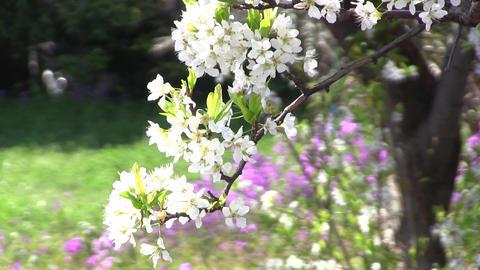 桜 Footage