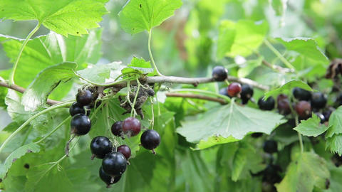 Black currant branch Footage