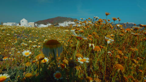 Establishing Shot of The Greek Island of Santorini Showing a Flower Bed and Trad Footage